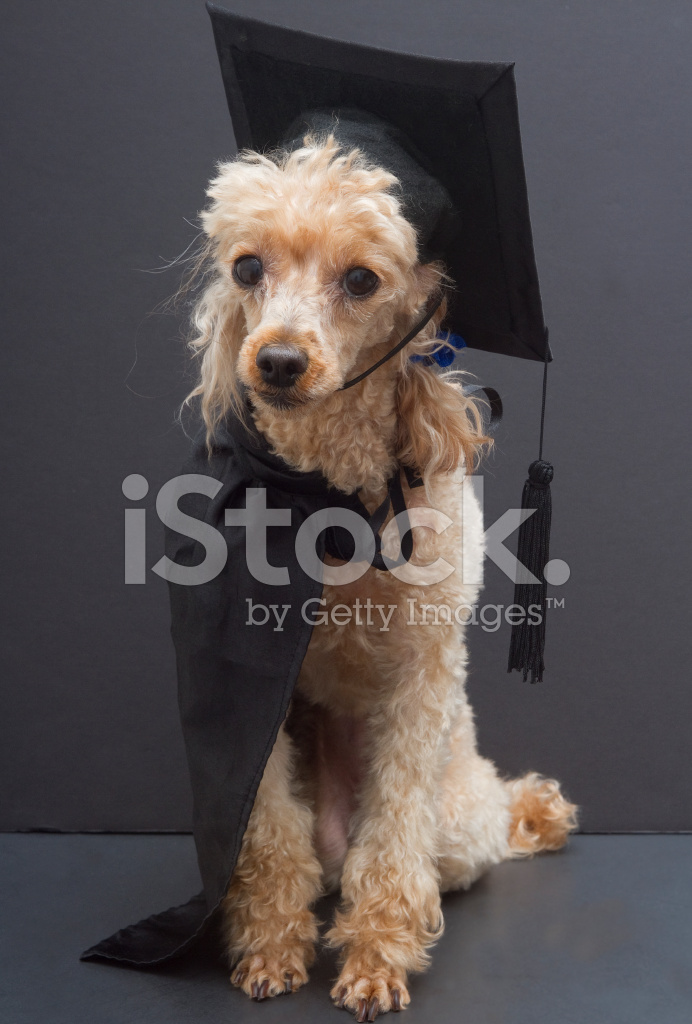 Poodle IN Graduation Cap and Gown Stock Photos - FreeImages.com