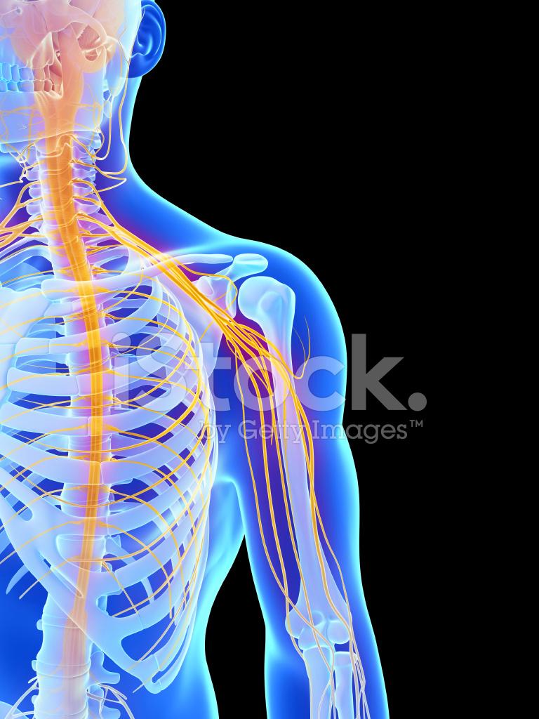 Shoulder Nerves Stock Photos - FreeImages.com