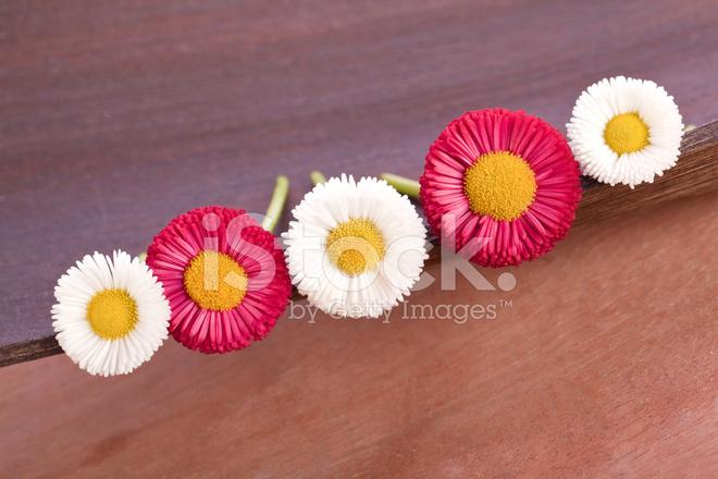 Flores Rojas Y Blancas Daisy Fotografias De Stock Freeimages Com