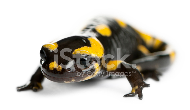 T shirt salamandra tostadora