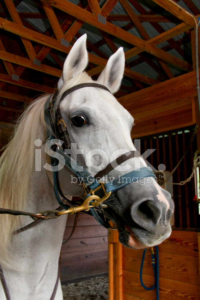 Arabian White Horse Head And Bridle Stock Photos