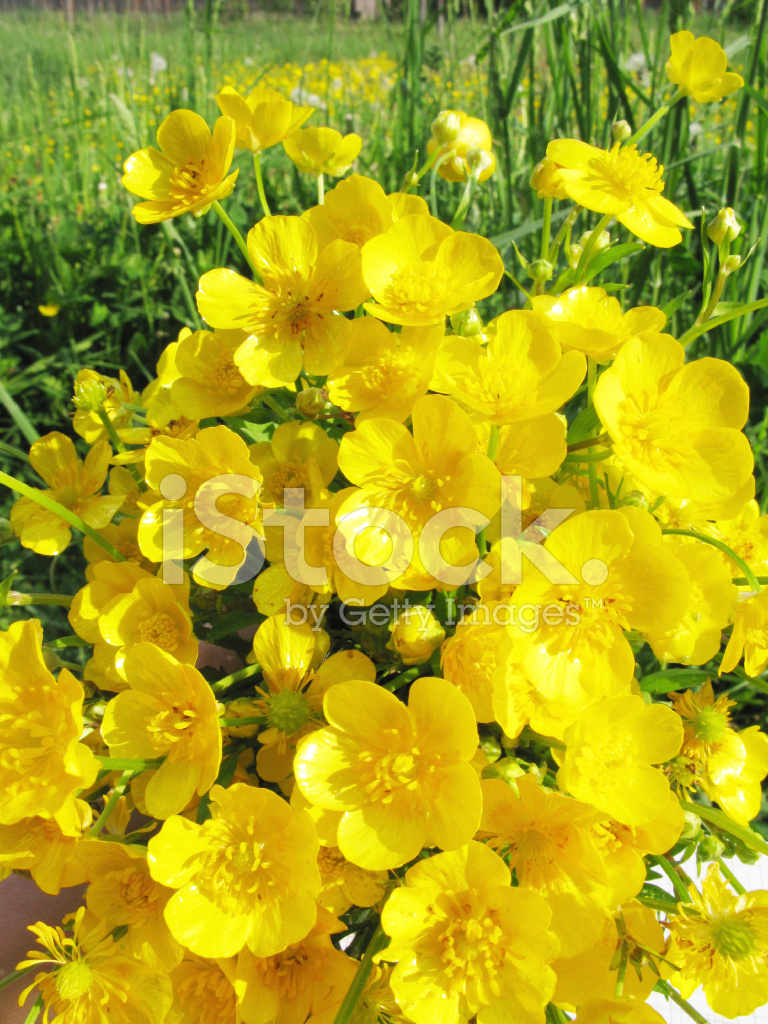 Bouquet Of Field Yellow Butter Cup Flowers Stock Photos Freeimages