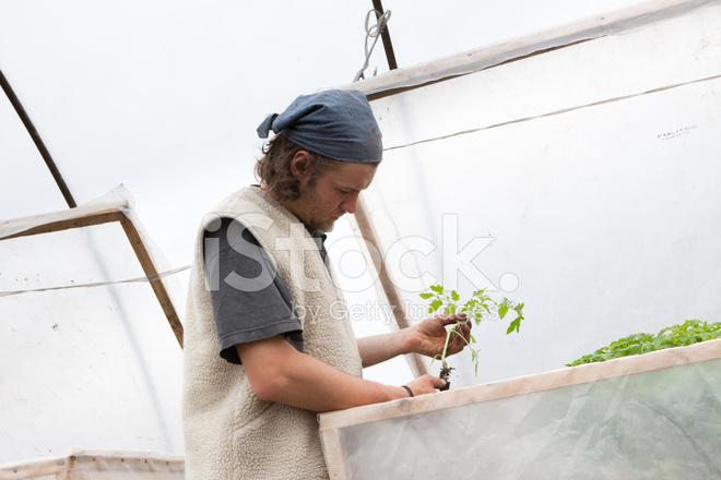 Organic Farming: Young Farmer Works AT Tomato Plants IN