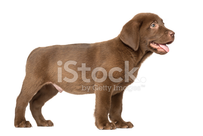 Labrador Retriever Puppy Standing And Panting Isolated Stock Photos