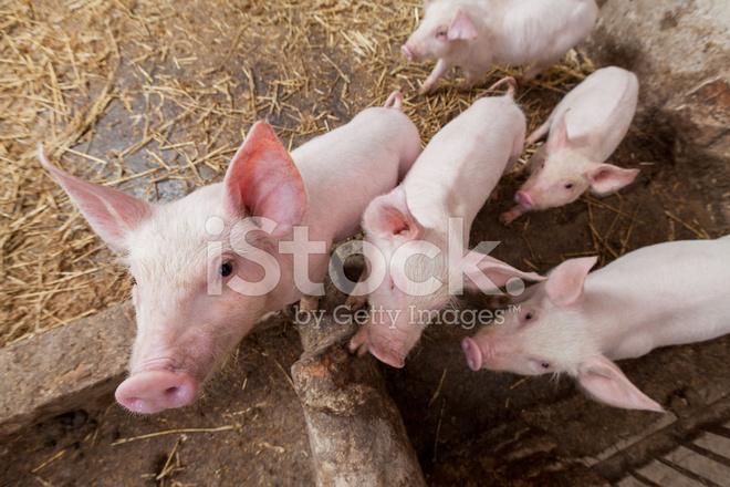 byens gris swinger gård