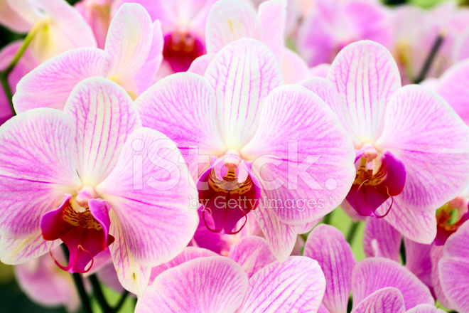 orquídeas rosadas fotografías de stock freeimages com