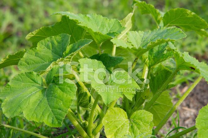 Gelber Kurbis Pflanze Stockfotos Freeimages Com