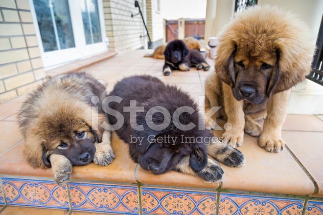 Tibetan Mastiff Puppies Stock Photos - FreeImages com