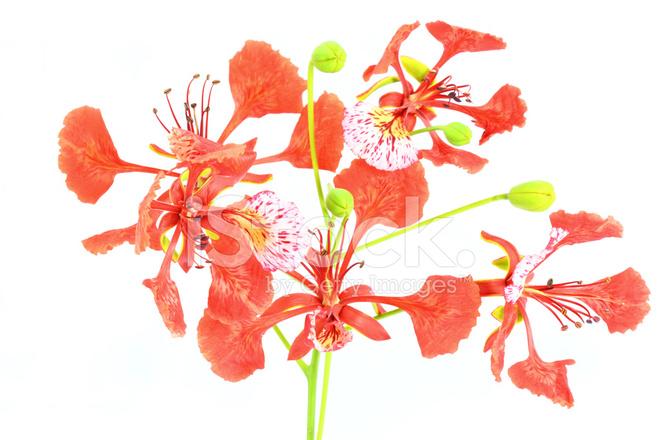 Poinciana Flower Stock Photos Freeimages Com