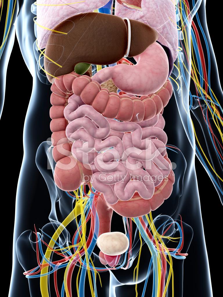 Menschliche Anatomie Stockfotos - FreeImages.com
