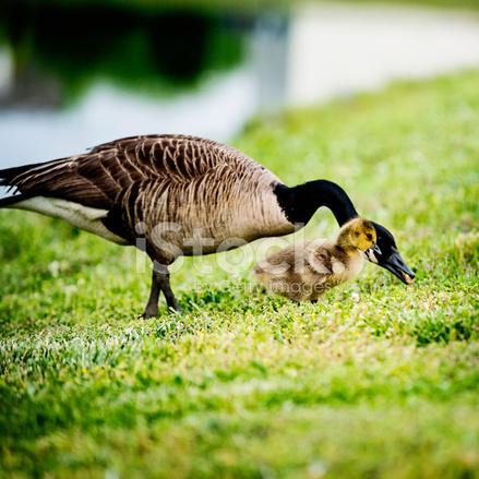Tres Dia De Edad Gosling Con Ganso Fotografias De Stock Freeimages Com