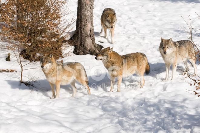 Branco di lupi europei di grigio canis lupus nella fotografie