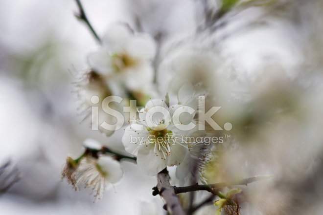 Bloom white plum blossom stock photos freeimages bloom white plum blossom mightylinksfo