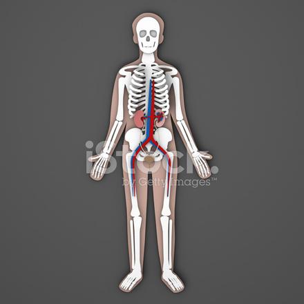 Papier Menschliche Anatomie Skele, Nieren, Harnwege UND Blase ...