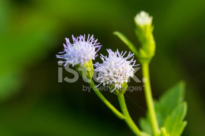 Hierba de Siam flor hermosa