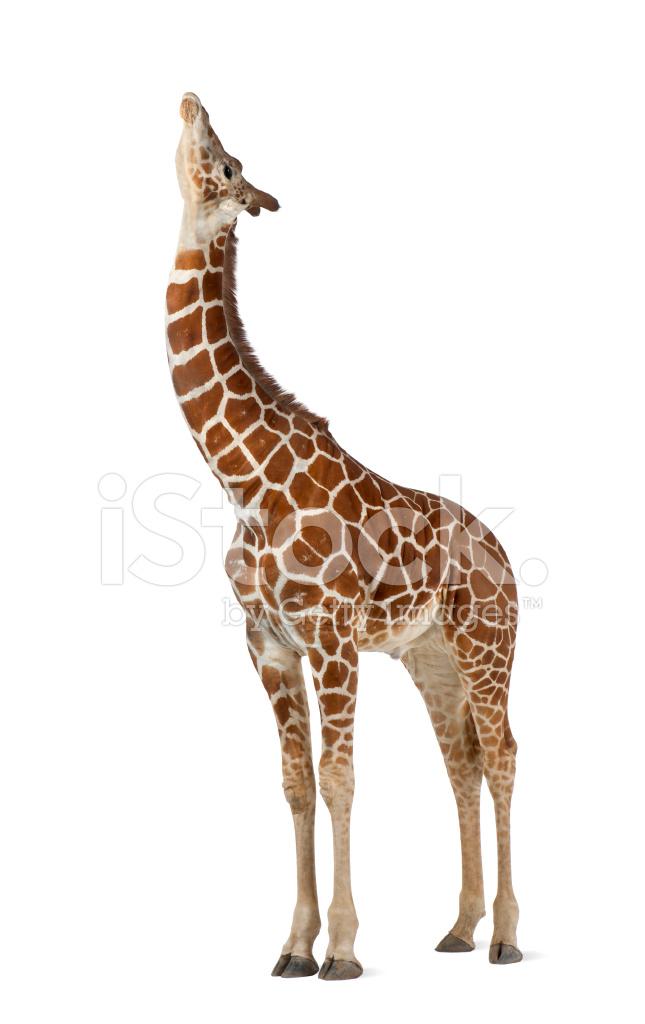 ɀ�常被称为网纹长颈鹿,长颈鹿 Dž�片素材 Freeimages Com