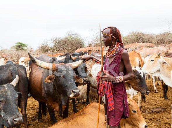 Young Maasai Warrior, Moran With Spear and Cattle IN Stock