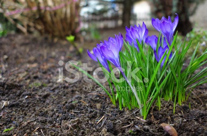 Ersten Fruhling Blumen Lila Stockfotos Freeimages Com