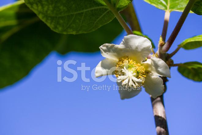 Kiwi Blume Stockfotos Freeimagescom