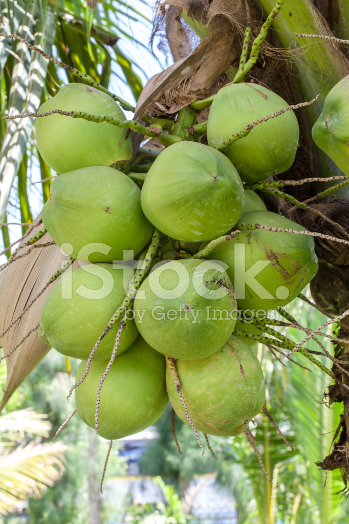 Young Coconut stock photos
