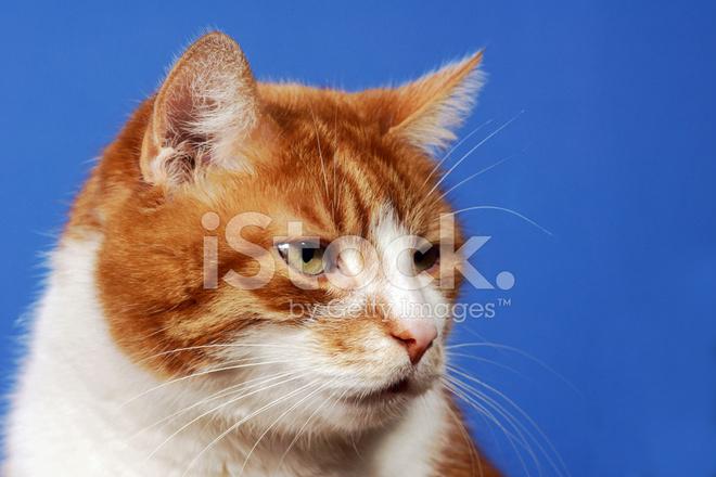 Rudy Kot Oczy Zdjęcia Ze Zbiorów Freeimagescom