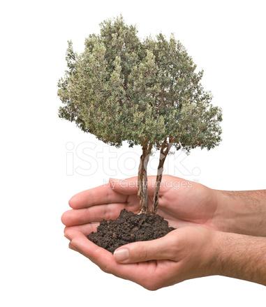 橄榄树在棕榈树作为礼物 照片素材 - freeimages.com