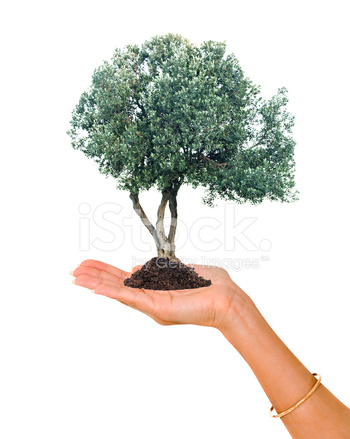 Olive Tree In Palm As A Symbol Of Nature Protection Stock Photos