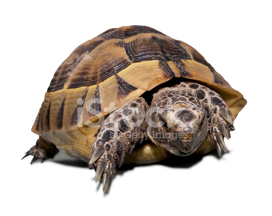 Land Turtle Isolated on White stock photos - FreeImages.com