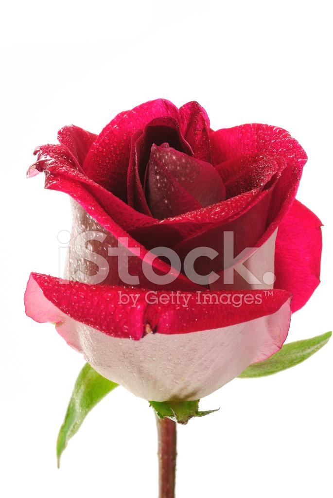 Bella Rosa Rossa Su Sfondo Bianco Fotografie Stock Freeimagescom