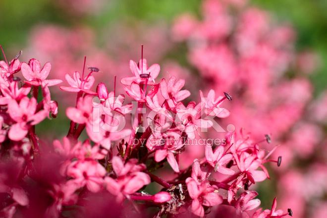 Deep pink flowers red valerian centranthus ruber stock photos deep pink flowers red valerian centranthus ruber mightylinksfo