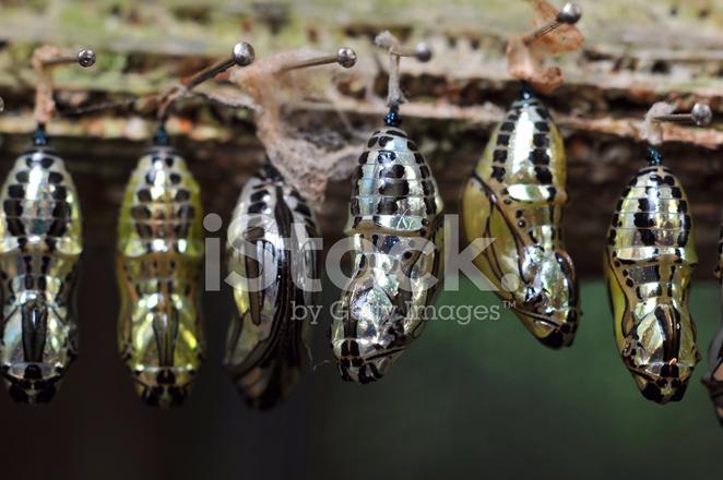 Wiersze Kokonów Motyl Zdjęcia Ze Zbiorów Freeimagescom
