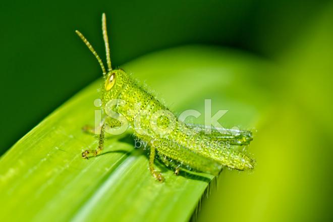 Baby Grasshopper Stock Photos Freeimages Com