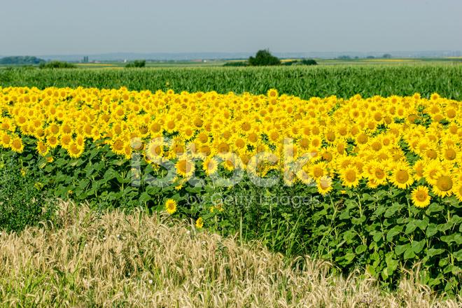 premium stock photo of sunflower, corn and wheat field