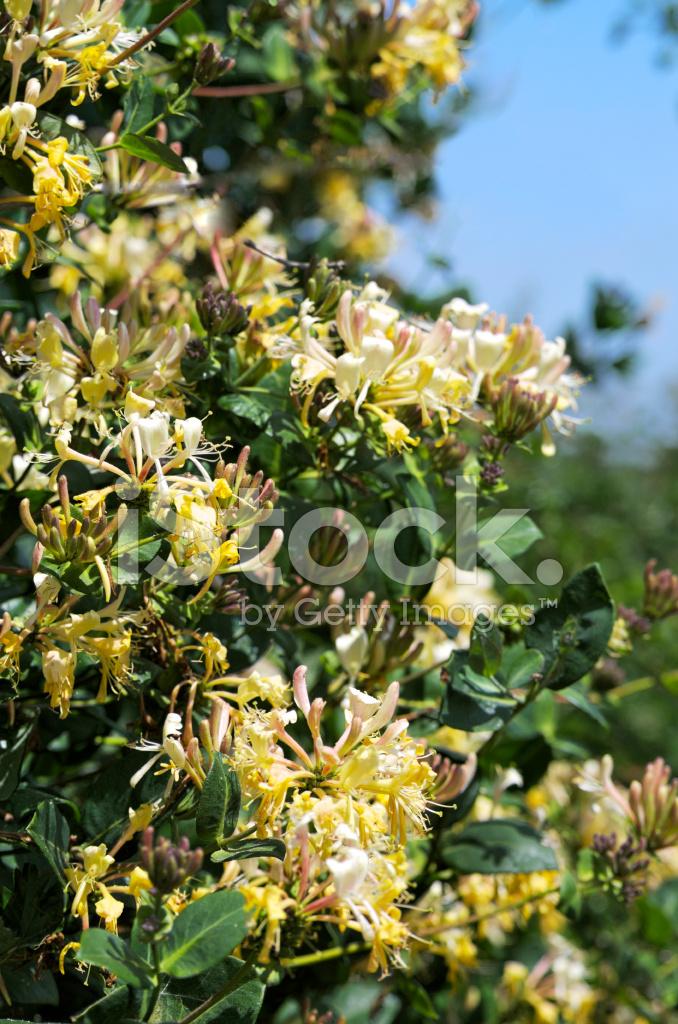 Planta madreselva rosa rangn planta flor quisqualis - Madreselva planta ...