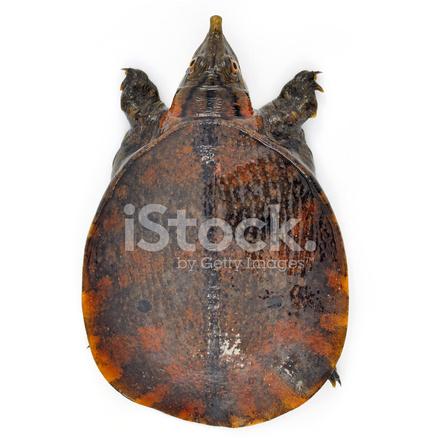 Tartaruga Dal Guscio Molle.Tartaruga Dal Guscio Molle Pelodiscus Sinensis Su Bianco