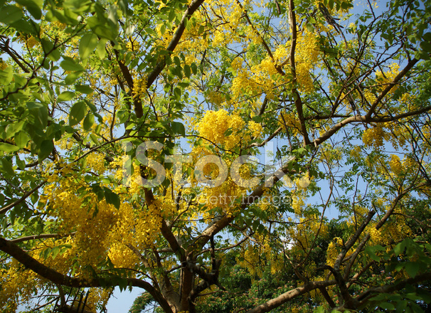 Flowers yellow acacia kerala south india stock photos freeimages flowers yellow acacia kerala south india mightylinksfo
