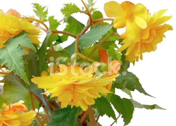 Fiori gialli di begonia pianta da vaso fotografie stock for Begonia pianta