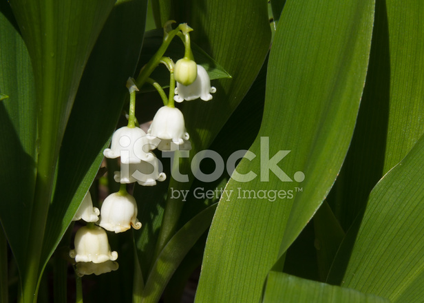 lily of the valley botany essay Lily of the valley by warszawianka biology, black_and_white, botany, externalsource, line_art, outline, plants, psf, wikimedia_commons viewed by 2988 people.