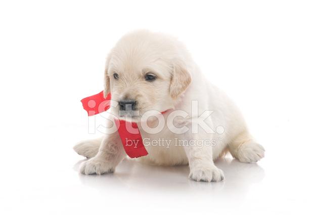 klein schattig golden retriever pup op witte achtergrond stockfoto 39 s. Black Bedroom Furniture Sets. Home Design Ideas