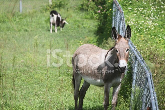 당나귀와 염소 방목 스톡 사진 - FreeImages.com