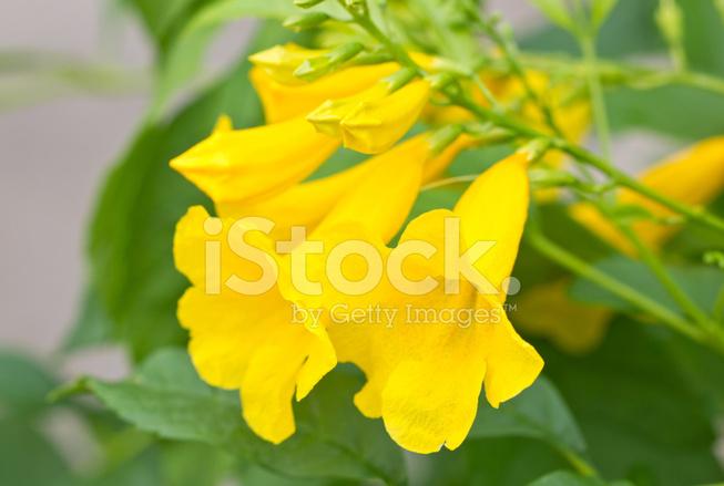 Trumpet vine stock photos freeimages trumpet vine flowers mightylinksfo