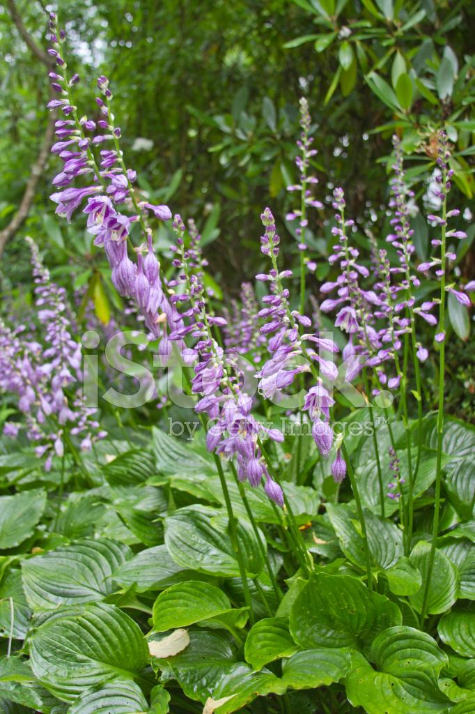 Blooming Hosta Plant Stock Photos Freeimagescom