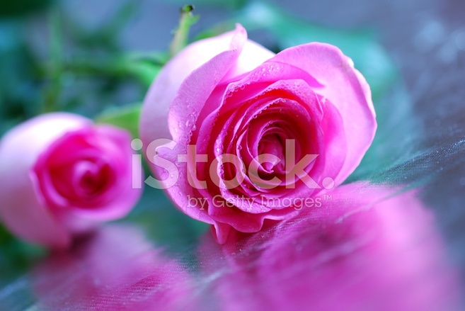 Pink Rose On Silver Background