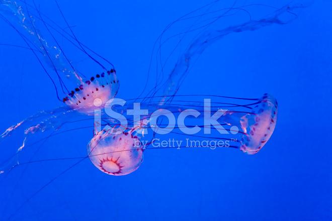 Belle Pesci Jelly In Acquario Con Sfondo Blu Fotografie Stock