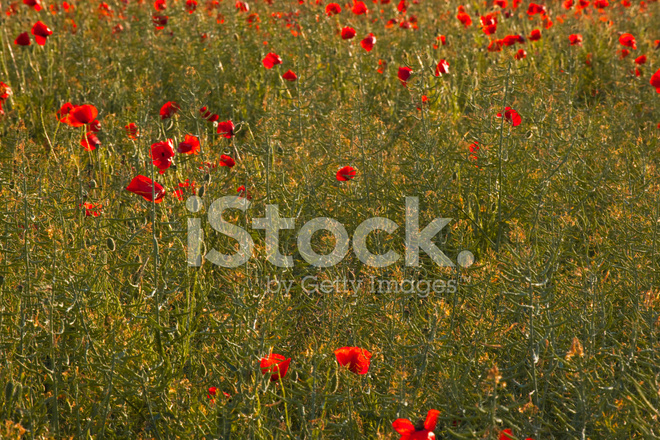 French poppies stock photos freeimages french poppies mightylinksfo