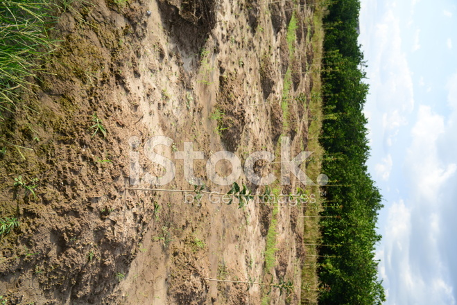 Saplings small trees for sale in garden stock photos for Small garden trees for sale