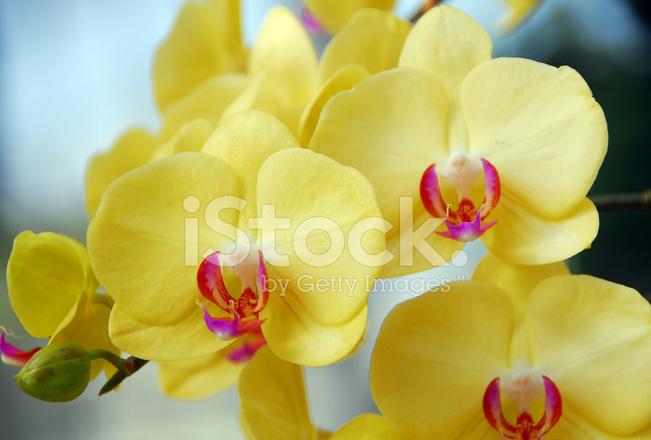phalaenopsis gelb rosa orchidee blume stockfotos. Black Bedroom Furniture Sets. Home Design Ideas