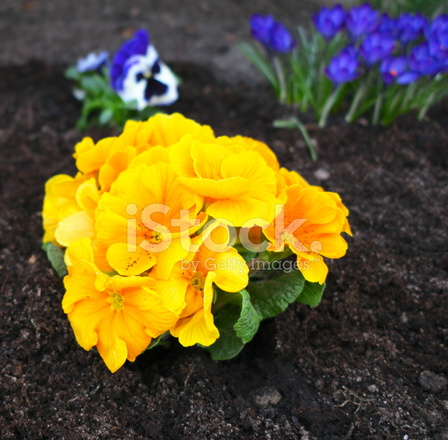 Erste Fruhlingsblumen Im Garten Stockfotos Freeimages Com