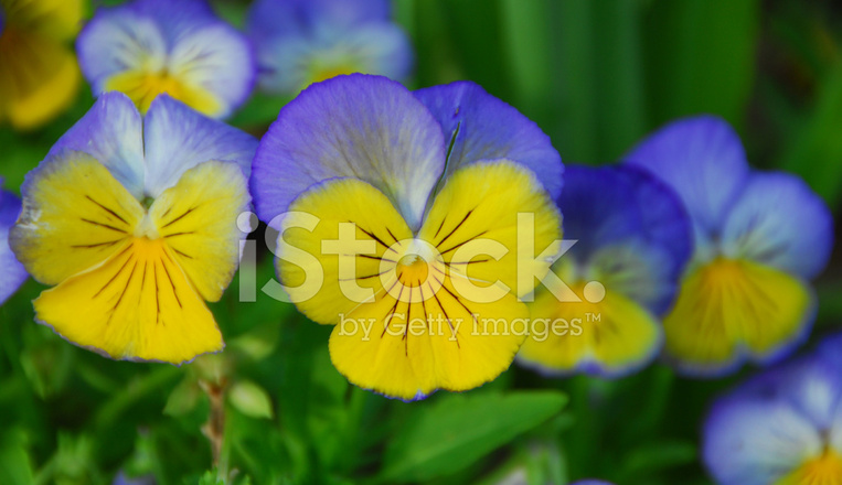 Blue yellow pansy flower stock photos freeimages blue yellow pansy flower mightylinksfo
