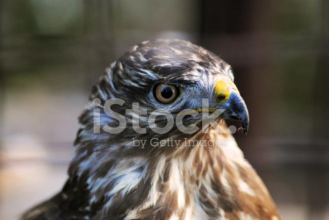 pássaro de falcão fotos do acervo freeimages com